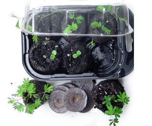Mimosa pudica plant glowing kit