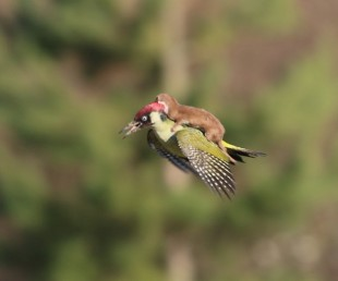 This Photography of Weasel on Woodpecker is Mindblowing